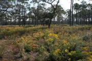 A view of the long leaf pine restoration area with the wildflowers in bloom at Fred Gannon Rocky Bayou State Park
