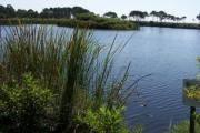 Gator Lake at St Andrews State Park is nestled around an ancient dune system. Here a small gator makes an approach beneath a bundle of grass. In the distance you will a see an island hosting a plethora of wading birds.