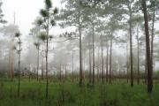 A morning view of the Sandhill which is visible from the campground and main park drive.  The fog is resting just above the wiregrass and rises up to the widely spaced Pine trees.