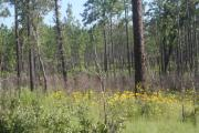 This photo shows sandhill restoration area. There are yellow flowers among various grasses. There are many pine trees and some small oak trees.