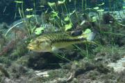 This is an underwater photo of a bass with limestone and some aquatic vegetation.