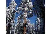 Photo: LODGEPOLE SEQUOIA NATIONAL PARK CA